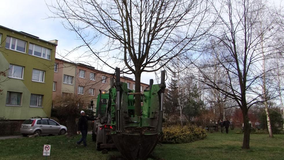 Gmina przesadza stare drzewa