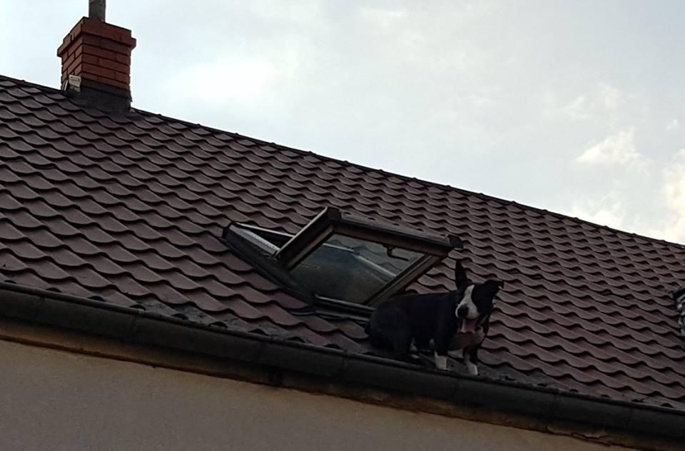 Pies na... dachu